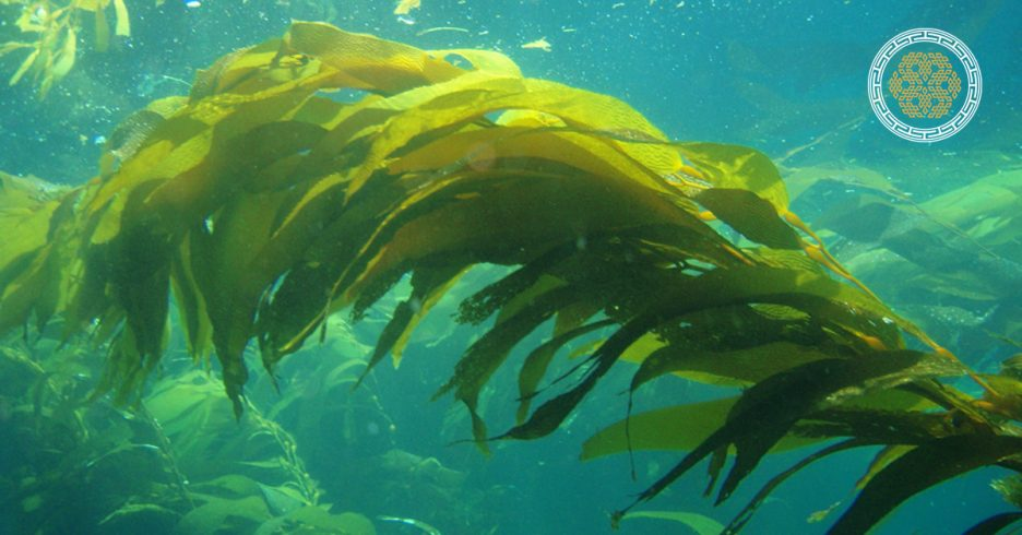 Growing with Cold Pressed Kelp