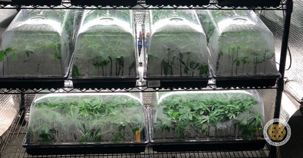 cannabis micropropagation